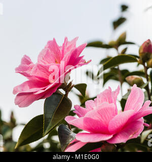 A macro shot of a pair of camellia blooms. - Stock Photo