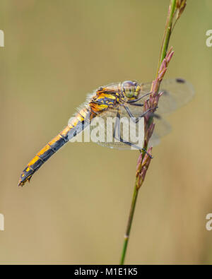 Black Darter dragonfly female (Sympetrum danae) perched on a blade of grass. Goatenbridge, Tipperary, Ireland. - Stock Photo