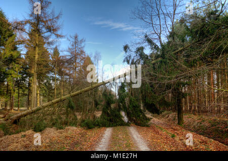 Pine tree blown over by storm blocks a path through a forest - Stock Photo