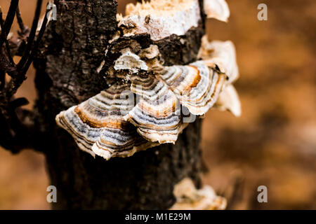 Turkey Tail Mushroom in Fall Landscape - Stock Photo