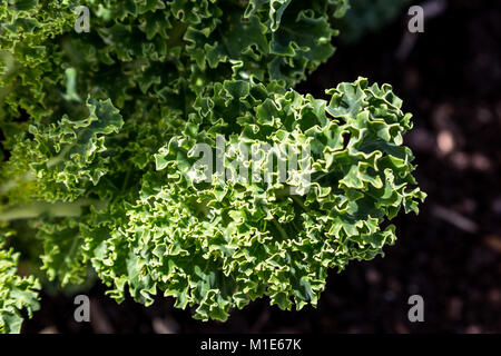 Curly leaves of kale plant in vegetable garden - Stock Photo