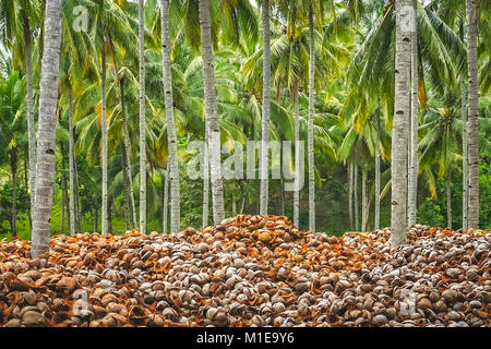 Pile of empty coconut shells under tall palmtrees in the jungle of tropical indonesian island Sumbava, Indonesia, - Stock Photo