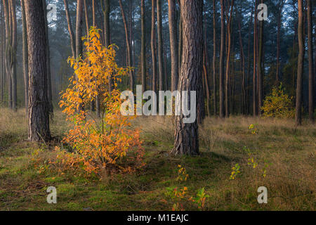 Lonely autumn tree with red and yellow leafs standing in the forest full of green pines in the morning haze - Stock Photo