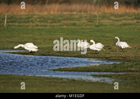 Bewick's swan Cygnus columbianus adult wing-flapping - Stock Photo