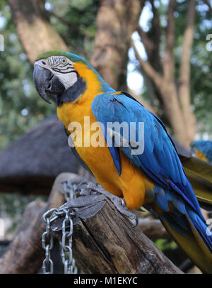 Blue-and-yellow Macaw (Ara ararauna) - Stock Photo