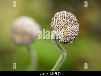 A macro shot of a japanese anemone seed capsule. - Stock Photo