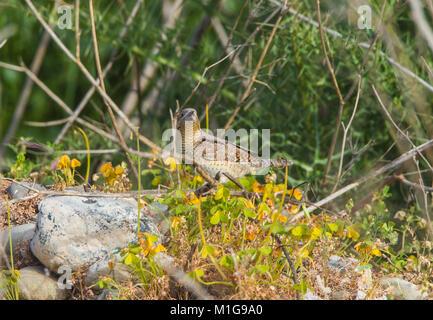 Wryneck Jynx torquilla feeding with sparrows - Stock Photo