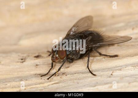 Blaue Schmeissfliege, Schmeißfliege, Blaue Fleischfliege, Brummer, Calliphora vicina, blowfly, bluebottles, bluebottle - Stock Photo