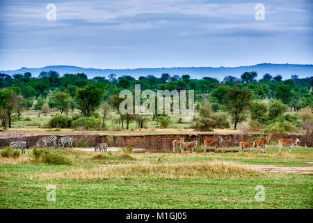 Common eland antelopes and zebras in landscape of Serengeti National Park, UNESCO world heritage site, Tanzania, - Stock Photo