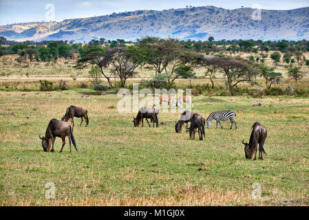 mixed anteloped in landscape of Serengeti National Park, UNESCO world heritage site, Tanzania, Africa - Stock Photo