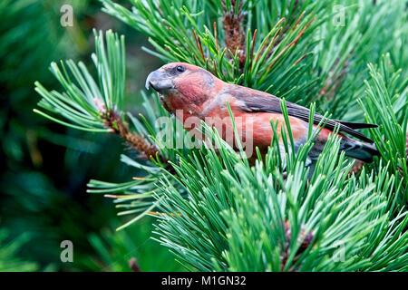 Parrot Crossbill (Loxia pytyopsittacus), male, Shetland, Scotland, UK. - Stock Photo