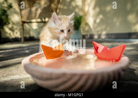 Norwegian Forest Cat. Kitten playing with paper boats on a water bowl. Germany. Restriction: Not for guidebooks - Stock Photo