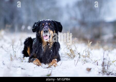 Hovawart. Adult dog lying on a snowy pasture. Germany .. - Stock Photo