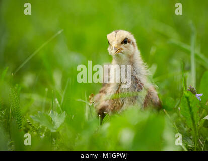 Welsummer Chicken. Chicken standing on a meadow. Germany - Stock Photo