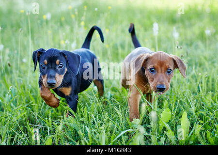 German Pinscher. Two puppies walking on a meadow. Germany. - Stock Photo