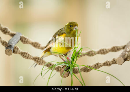 Domestic Canary. Adult standing on a swing bridge while eating catgrass. Germany. - Stock Photo