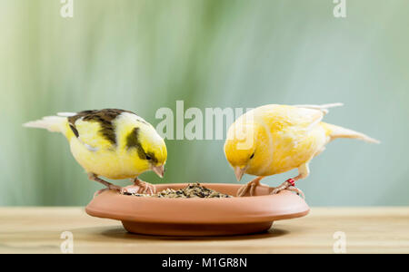 Domestic canary. Two birds of different colour picking seeds from a dish. Germany - Stock Photo