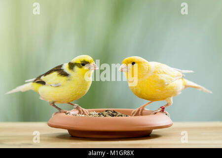 Domestic canary. Two birds of different colour standing on a dish filled with seeds. Germany - Stock Photo
