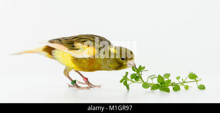 Domestic Canary. Adult bird eating chickweed. Germany - Stock Photo