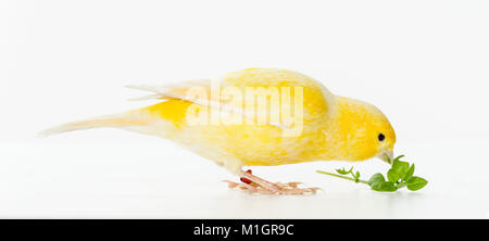 Domestic Canary. Yellow bird eating chickweed. Germany - Stock Photo