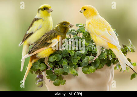 Domestic canary. Three birds of different colour eating Bolivian Jew. Germany - Stock Photo