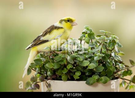 Domestic canary. Adult bird eating Bolivian Jew. Germany - Stock Photo