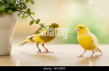 Domestic canary. Two birds of different colour eating Bolivian Jew. Germany - Stock Photo