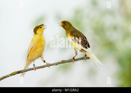 Domestic canary. Two birds of different colour perched on a twig while arguing. Germany - Stock Photo