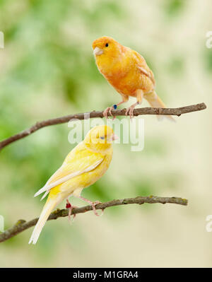 Domestic canary. Two birds of different colour perched on twigs. Germany. - Stock Photo