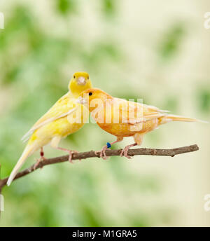 Domestic canary. Two birds of different colour perched on a twig. Germany - Stock Photo