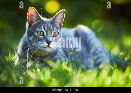 Domestic cat. Gray tabby adult lying in grass. Germany. - Stock Photo