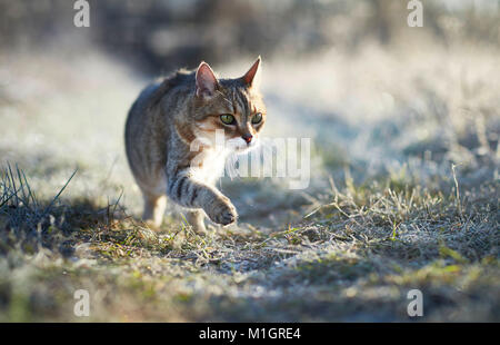 British Shorthair. Adult cat on a frosty morning in a garden. Germany - Stock Photo