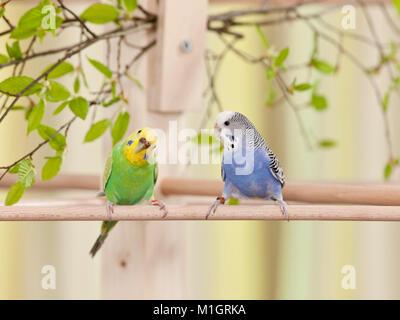Budgerigar, Budgie (Melopsittacus undulatus). Two birds on a perch. Germany - Stock Photo