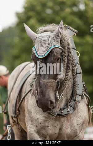 Belgian Draft Horse. Portrait of black adult in harness with collar. Germany - Stock Photo