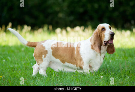 Basset Hound. Adult dog standing on a meadow. Germany - Stock Photo