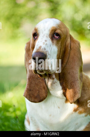 Basset Hound. Portrait of adult dog. Germany - Stock Photo