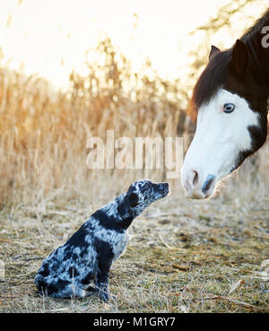 Animal friendship: Pintabian and young mixed-breed dog interacting. Germany - Stock Photo