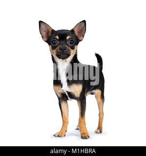 black chiwawa dog standing side ways looking at the camera isolated on white background - Stock Photo