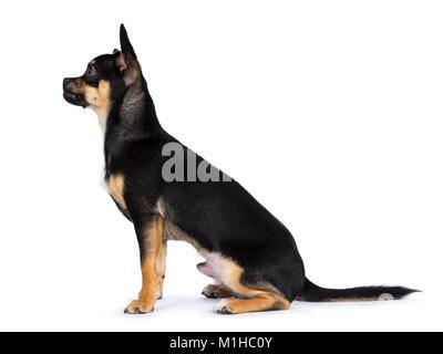 black chiwawa dog sitting side side ways and looking left isolated on white background - Stock Photo