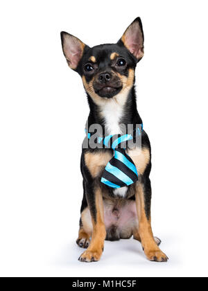 black chiwawa dog sitting with blue black tie looking to the camera isolated on whtie backgound - Stock Photo