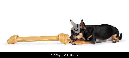 black chiwawa dog laying licking a huge bone isolated on white background - Stock Photo