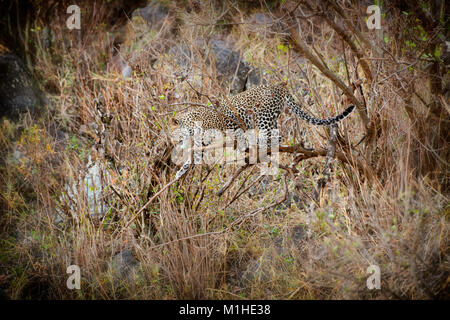 leopard cub playing on a branch, Panthera pardus, in Serengeti National Park, UNESCO world heritage site, Tanzania, - Stock Photo