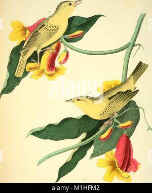 Color illustration depicting male and female Yellow Warblers (Setophaga petechia) perched on the stems of Ramping - Stock Photo