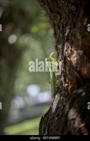 Big praying mantis on a tree in summer - Stock Photo