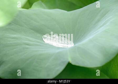Lotus (Nelumbo nucifera), Lotusblume (Nelumbo nucifera) - Stock Photo