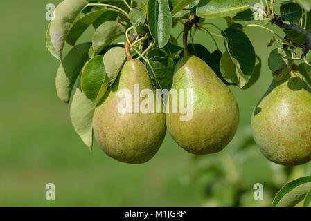 Pear (Pyrus communis XENIA), Birne (Pyrus communis XENIA) - Stock Photo