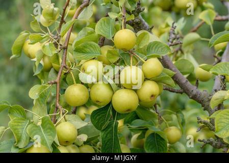 Nashi Pear (Pyrus pyrifolia Nijisseiki), Nashi-Birne (Pyrus pyrifolia Nijisseiki) - Stock Photo