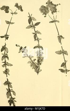 Annalen des Naturhistorischen Museums in Wien (1907) (17579696983) - Stock Photo