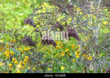 black lace elderberry sambucus nigra 39 black lace. Black Bedroom Furniture Sets. Home Design Ideas