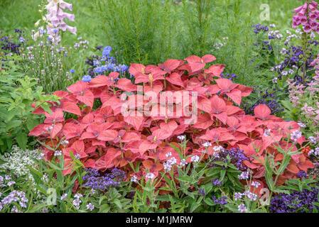 Solenostemon scutellarioides nettle (colored), Buntnessel (Solenostemon scutellarioides) - Stock Photo